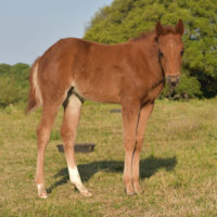 Mate Little Cokette x Copy Cat Filly4
