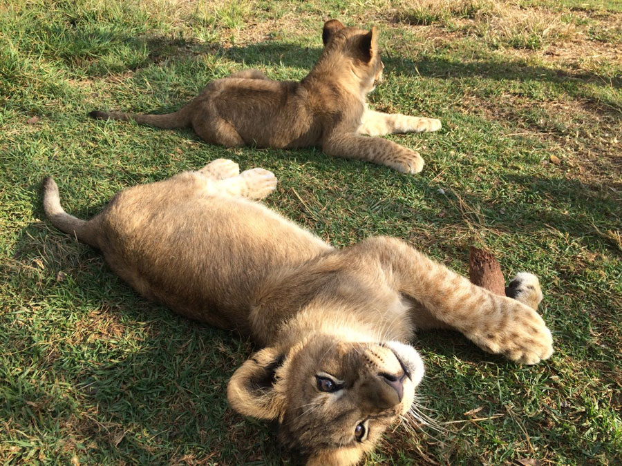 Baby lions, WOW!