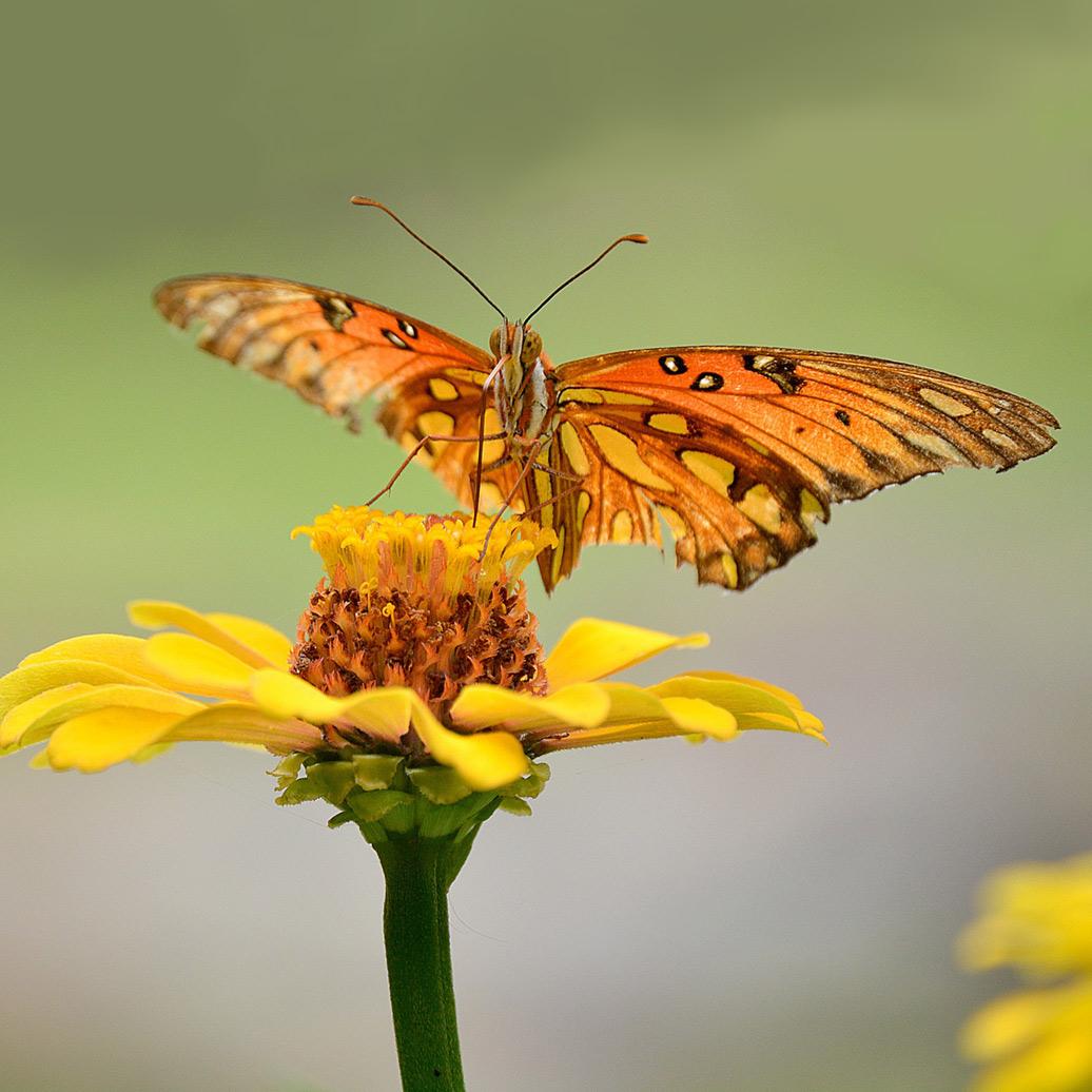 butterfly-balsam