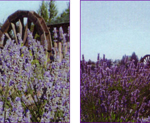 The Lavender Thyme Herb Farm