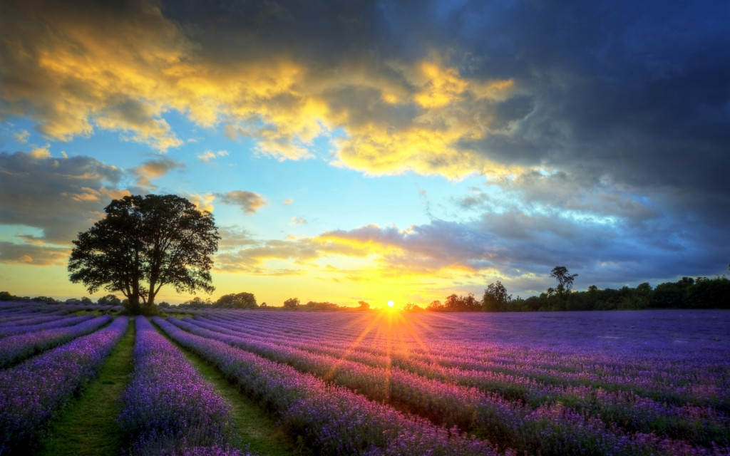 6923646-lavender-field-sunset