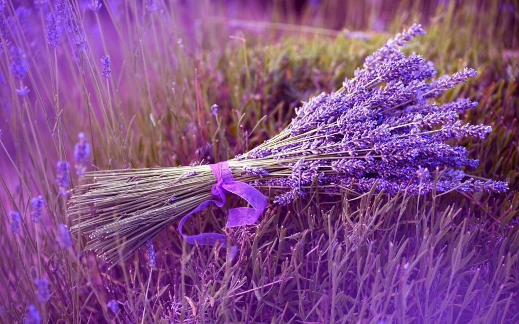 lavender_stock