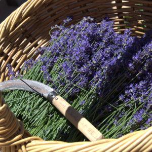 The English Lavender Farm