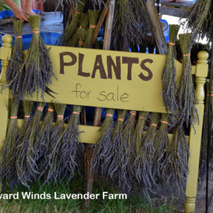 Wayward Winds Lavender – a Lavender Lovers paradise.