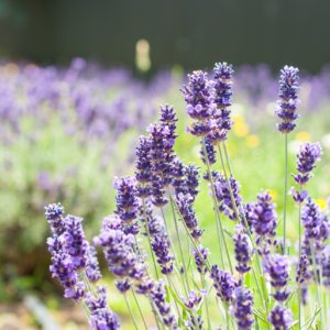 Sunderland Acres Lavender Farm