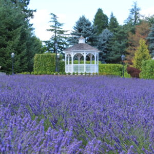 Carriage House Lavender