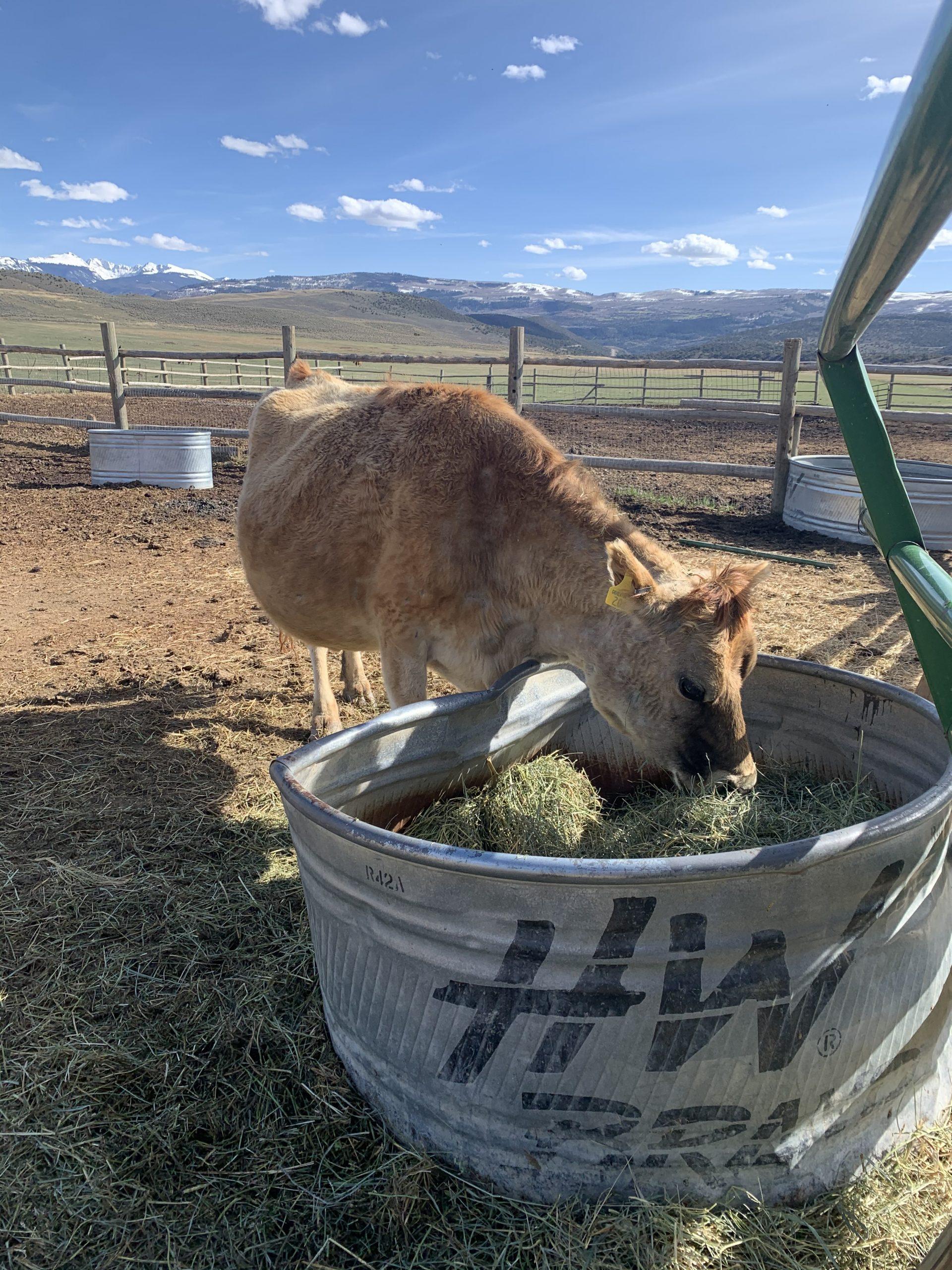 Feeding Time Cow
