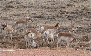 Pronghorns on the plains of Wyoming near Laramie.