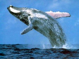 First Humpback Whale Of The Season Sighting