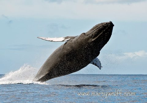 Pacific Whale Foundation's 2015 Great Whale Count