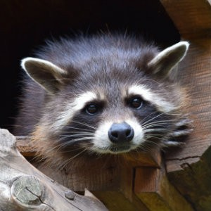 raccoon that delivered animal bites