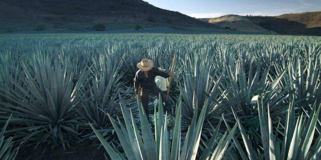 campos de agave tequila patron