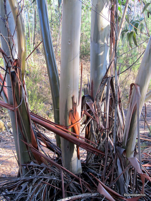 multiple eucalyptus trees grow out of one stump