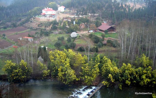 mimosa on the river Alva