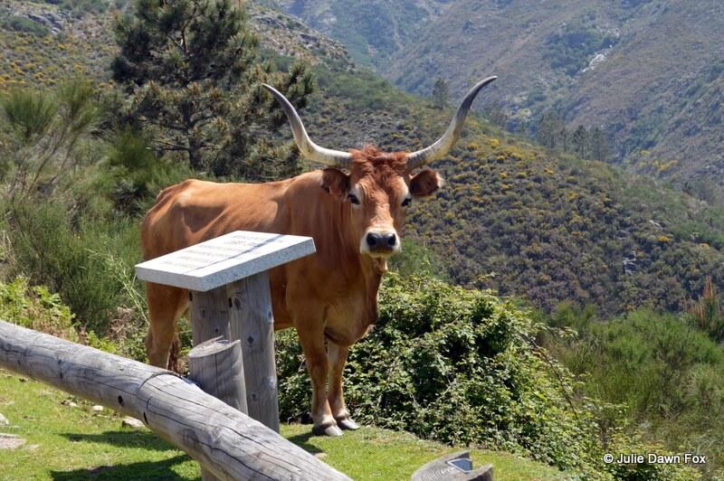 Cachena cow, Ermida, Peneda Gerês National Park, Portugal