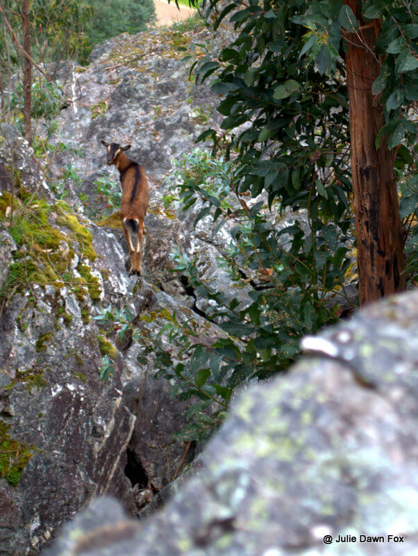 Goat on granite rocks, Senhora do Salto