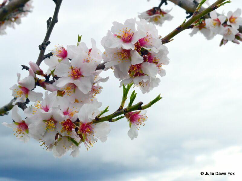 Almond blossom, Vila Nova de Foz Côa, Portugal © Julie Dawn Fox