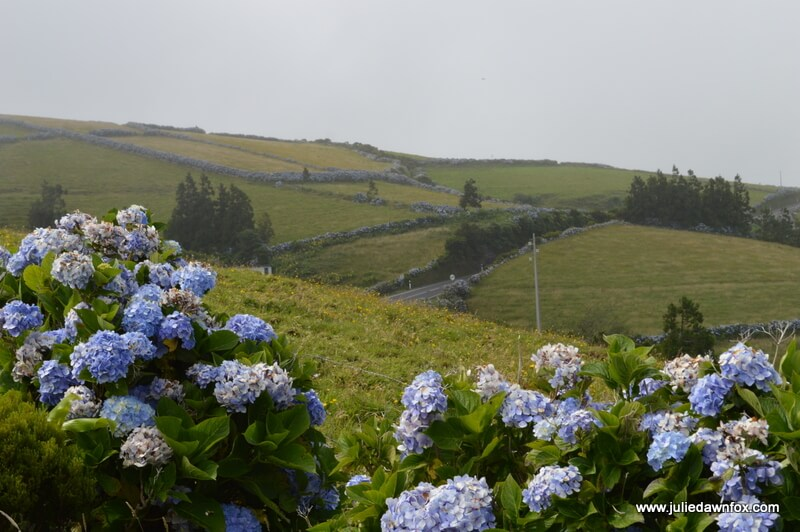 Hydrangeas as walls, Flores, Azores, Portugal. Photography by Julie Dawn Fox