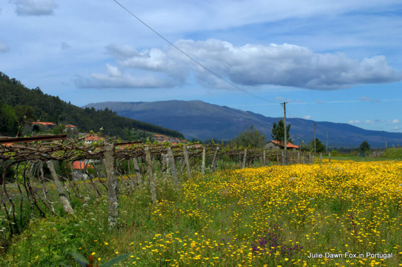 Grapevines, mountains and fields of flowers, Lima valley, Portuguese Way of St. James