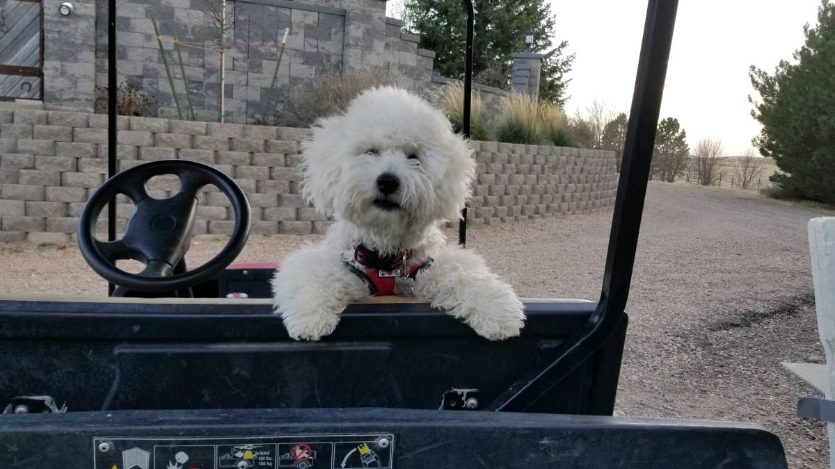 White Bichon is Kirby in Colorado