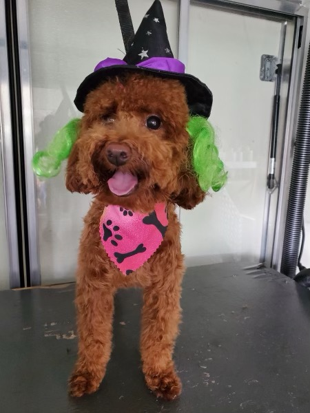 Red poodle In Miami FL