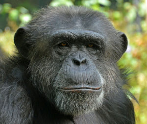 chimpanzee-face
