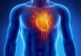 Evolution trades lifetime reproductive success for susceptibility to heart disease