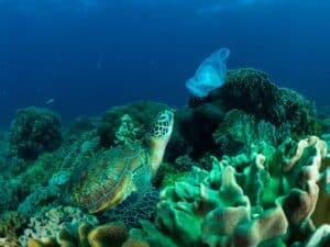 Sea turtle eyeing plastic bag (Image credit: Danny Ocampo)
