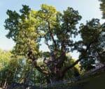 Stelmuze Oak, an English (Pedunculate) oak tree in Stelmuze village, Lithuania. It is the oldest oak in Lithuania and one of the oldest in Europe.