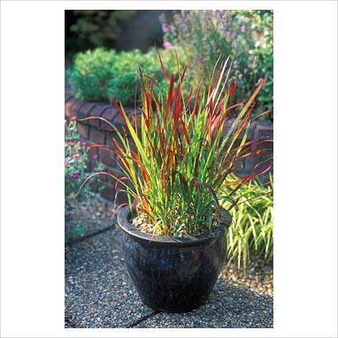 08- Japanese Blood Grass