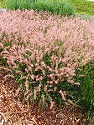 10 - Pink Fountain Grass