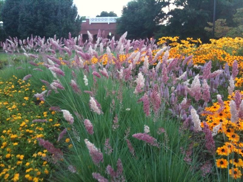 pinkgrass