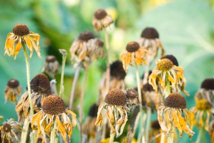 HomeZada Home Maintenance Deadhead Annual and Perennial Flowers