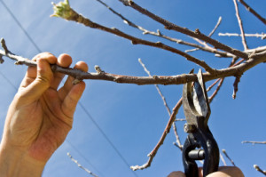 cutting of an apple tree