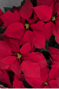 How to Care for Your Poinsettias