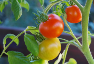 Choosing the Best Soil for Your Container Crop