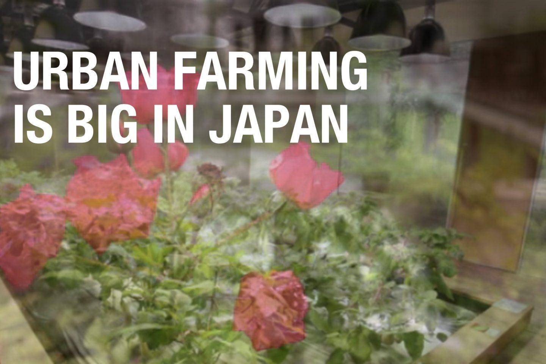 Urban Farming is Big in Japan