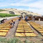 California sun dried peaches