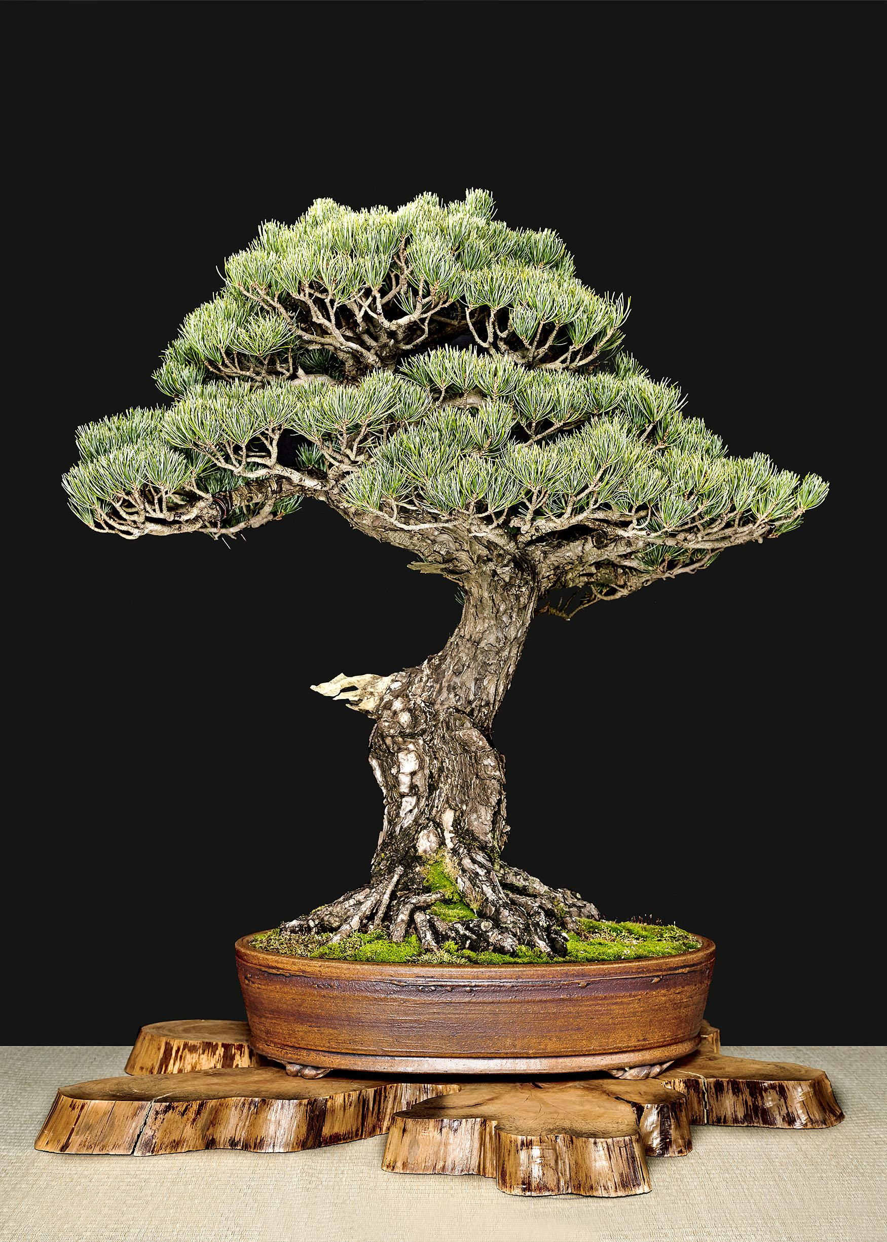 Japanese Black Pine: Pinus thunbergii
