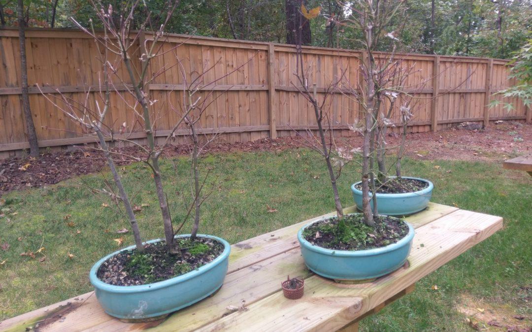 Japanese Maple Bonsai Forest 3 Tree Workshop