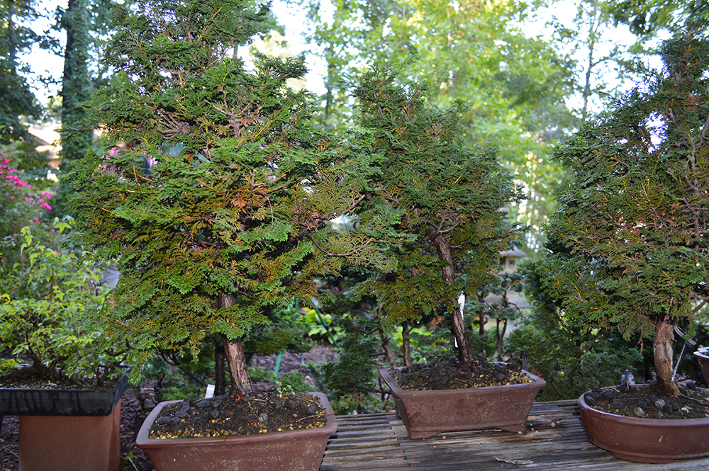 Hinoki Cypress Bonsai Workshop August 12 2018