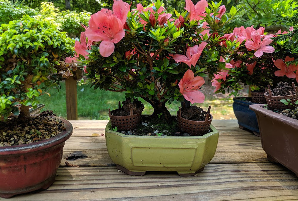 Hinoki, Azalea and Boxwood Tree Bonsai Workshop