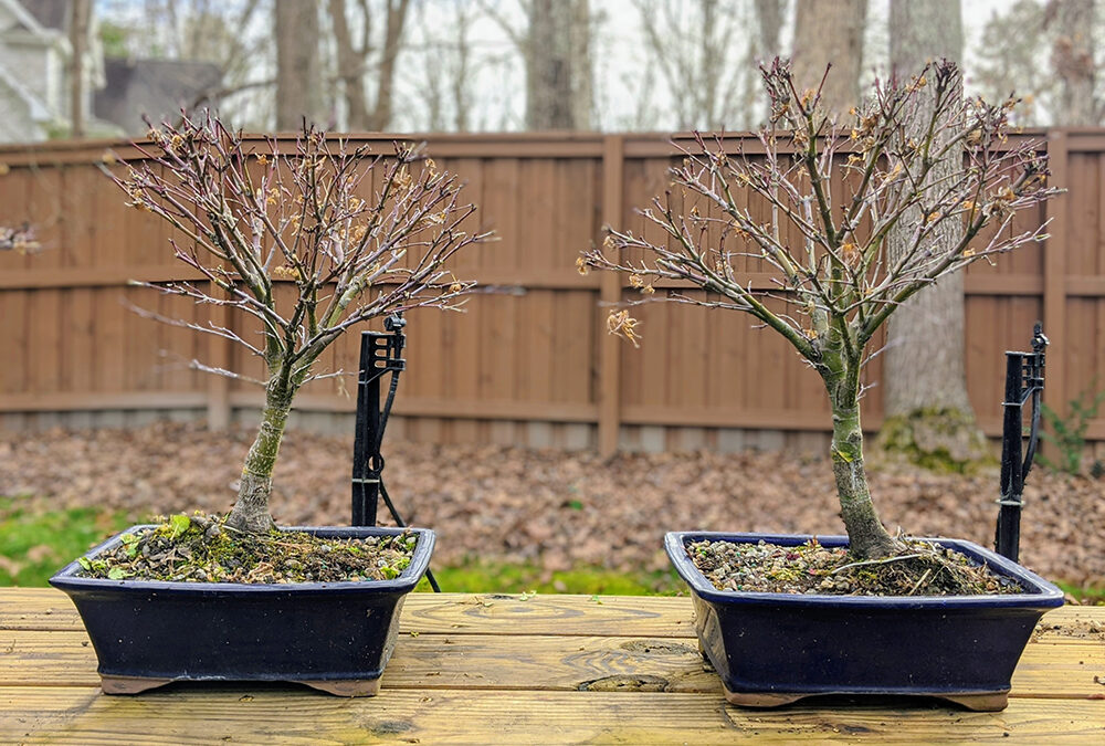 Sharps Pygmy Maple Bonsai