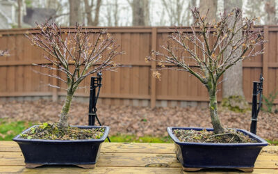 Sharps Pygmy Japanese Maple Bonsai Tree Workshop