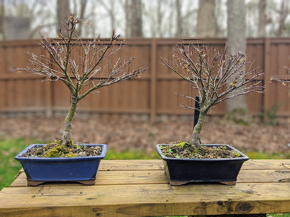 sharps pygmy bonsai
