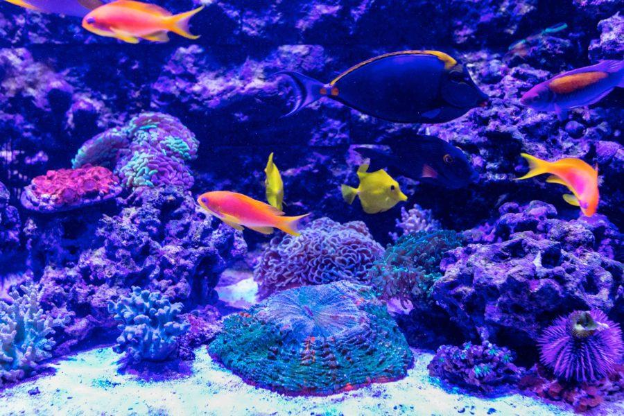500 Gallon Living Reef - Anthias