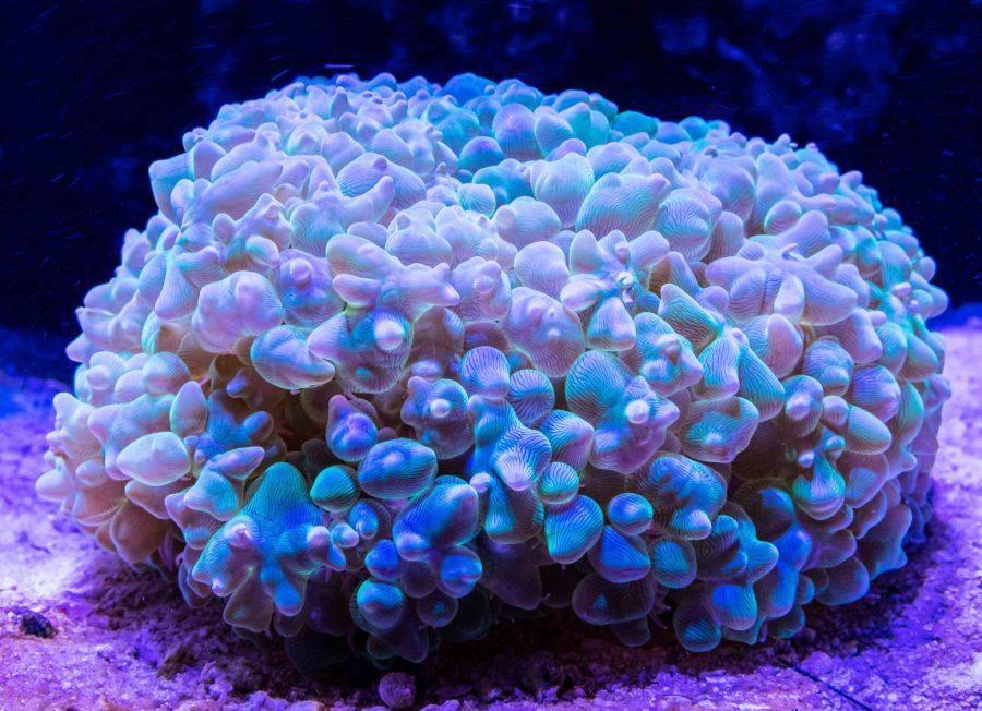 500 Gallon Living Reef - Pearl Bubble