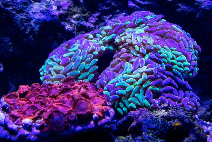 500 Gallon Living Reef - Bi-color Hammer