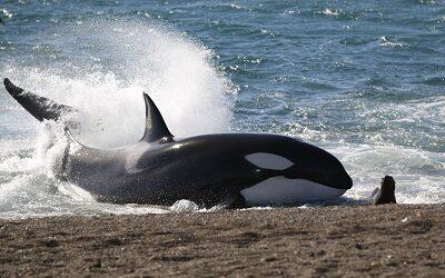 Temporada de orcas en la Patagonia Argentina: un espectáculo único