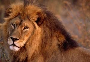 lion-photo1large-